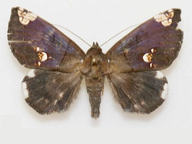 Achaea illustrata