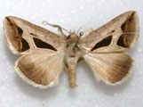 Cuneisigna obstans