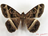 Cyligramma magus