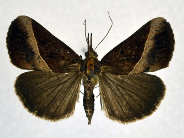 Hypena neoplyta