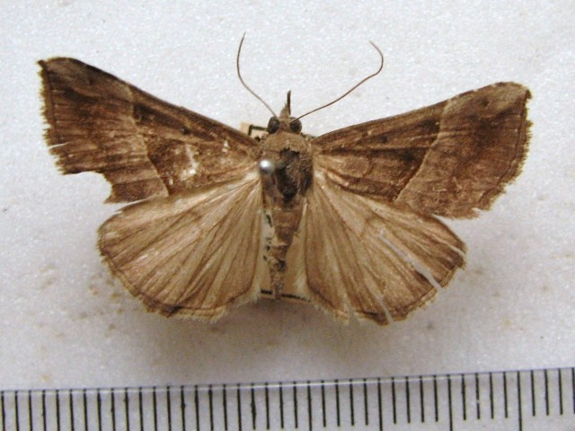 Hypena abyssinialis