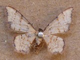 Idaea sublimbaria