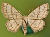Scopula sinnaria