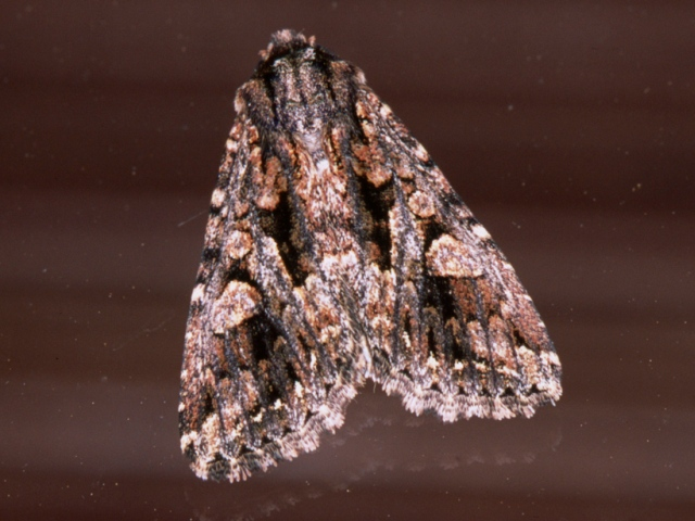 Acronicta sp1