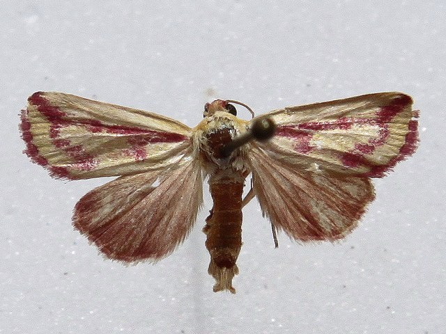 Heliothis decorata
