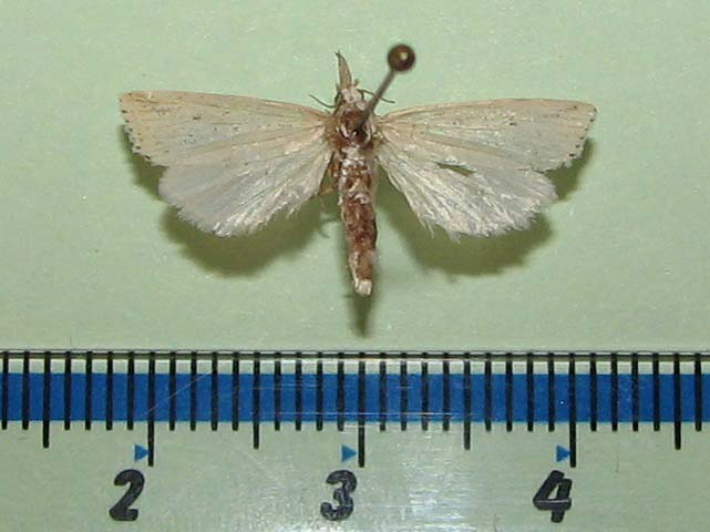 Calamotropha sp1