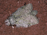 Desmeocraera interpellatrix