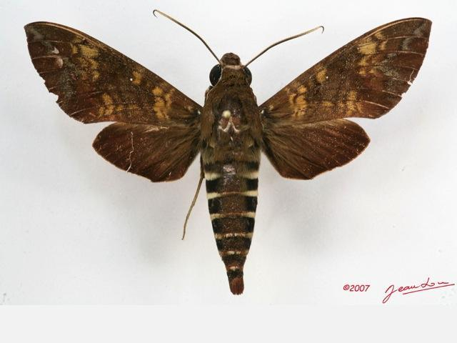 Nephele bipartita