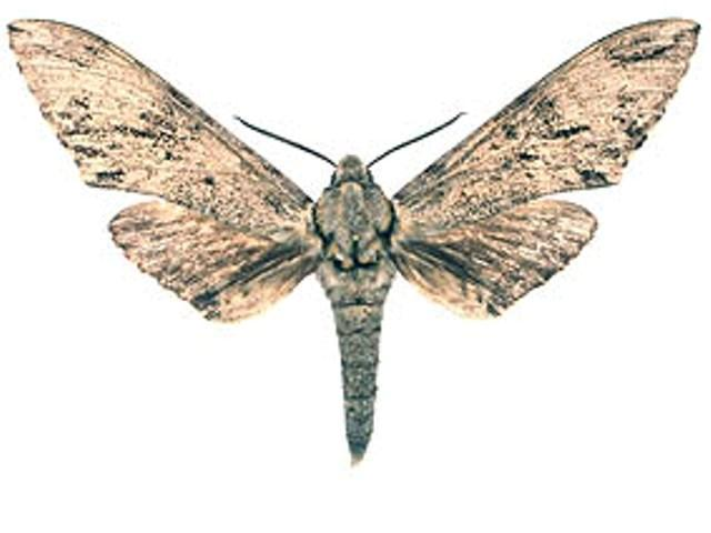 Covelliana ferax